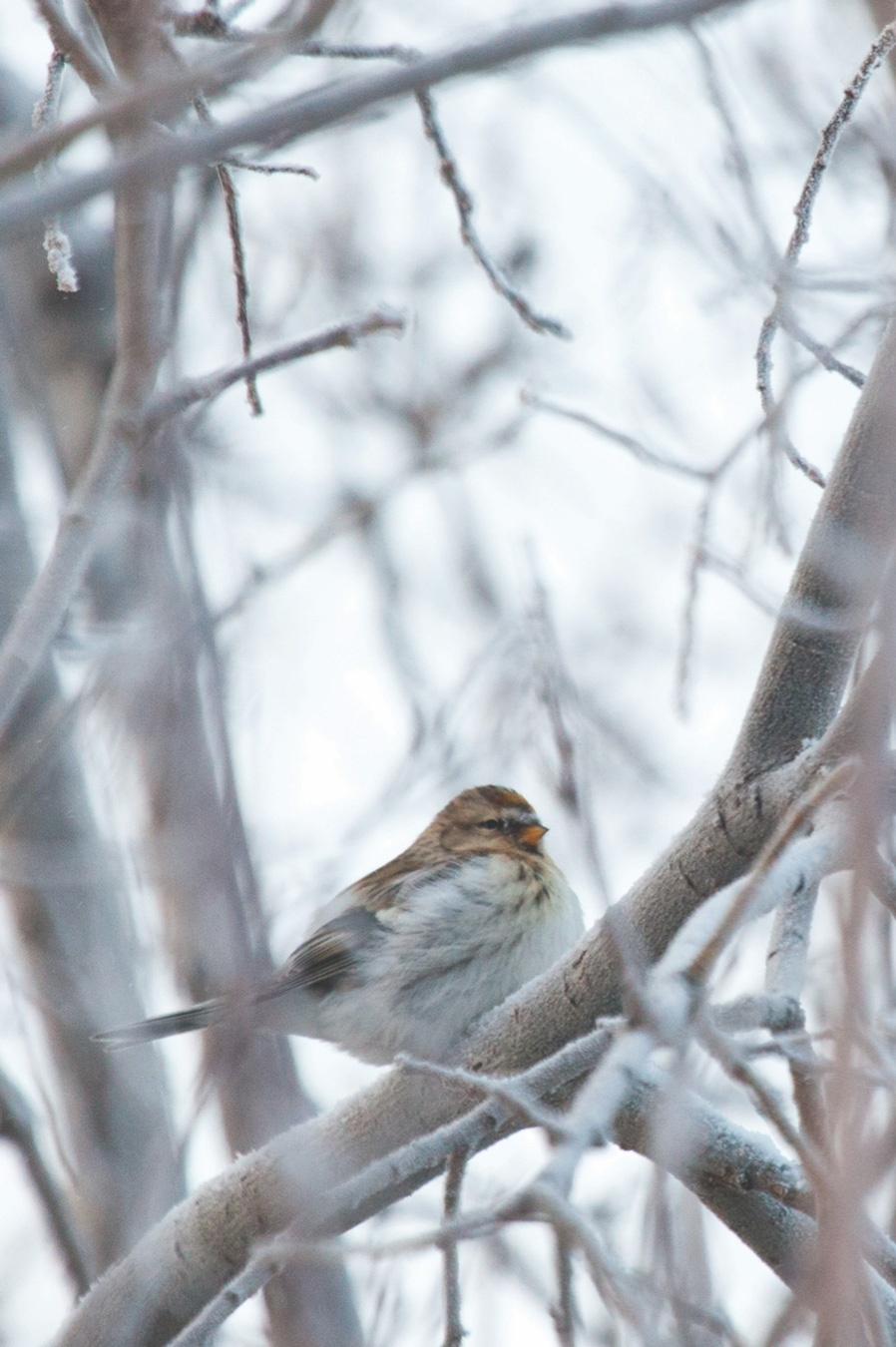 A fluffy looking songbird perched on a frosty tree branch in winter.